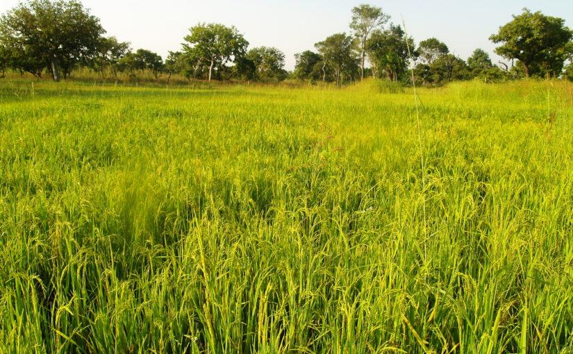 RISO ROSSO IN BURKINA FASO : biodiversità da salvare